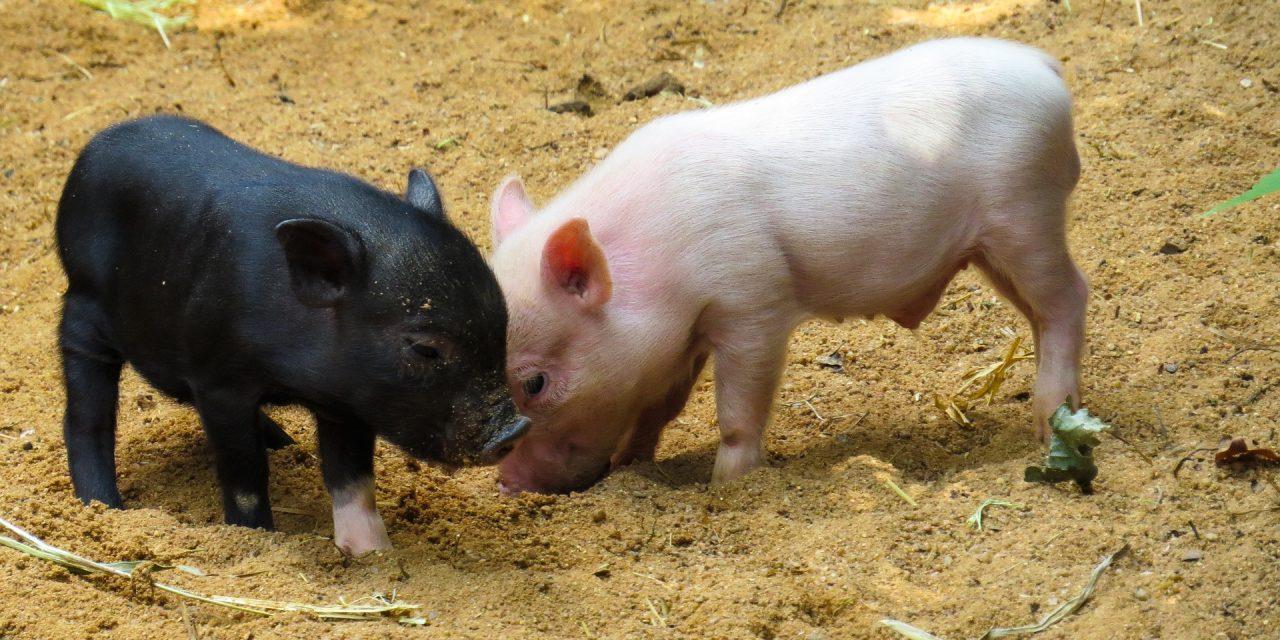 Jumătate din proteina acestei planete a dispărut din cauza pestei porcine africane