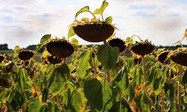 Cum a ajuns România să importe floarea-soarelui!