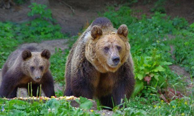Când ursul devine mai important decât omul!